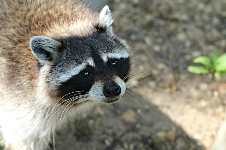 Lithia-Raccoon-Removal