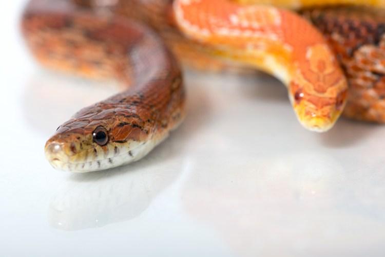 Snake-Removal-Bradenton