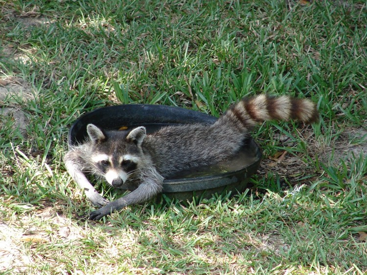 Raccoon-control-bradenton-FL