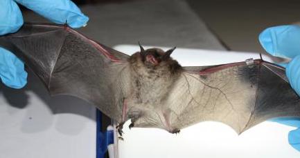Do I have bats? Lakewood Ranch, FL
