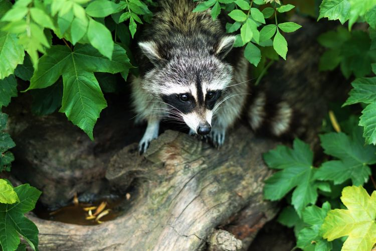 Sarasota Raccoon Removal