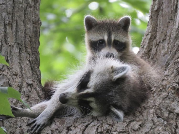 Wildlife Raccoon Trapping and Removal Bee Ridge 34233