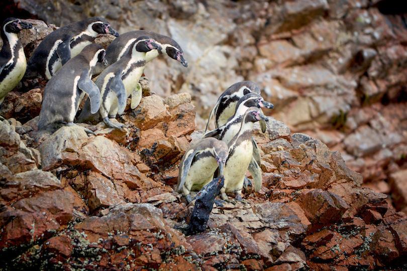 Penguins, Ballestas, Peru