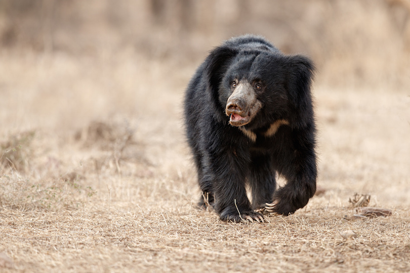 Big beautiful sloth bear male is searching termites in India