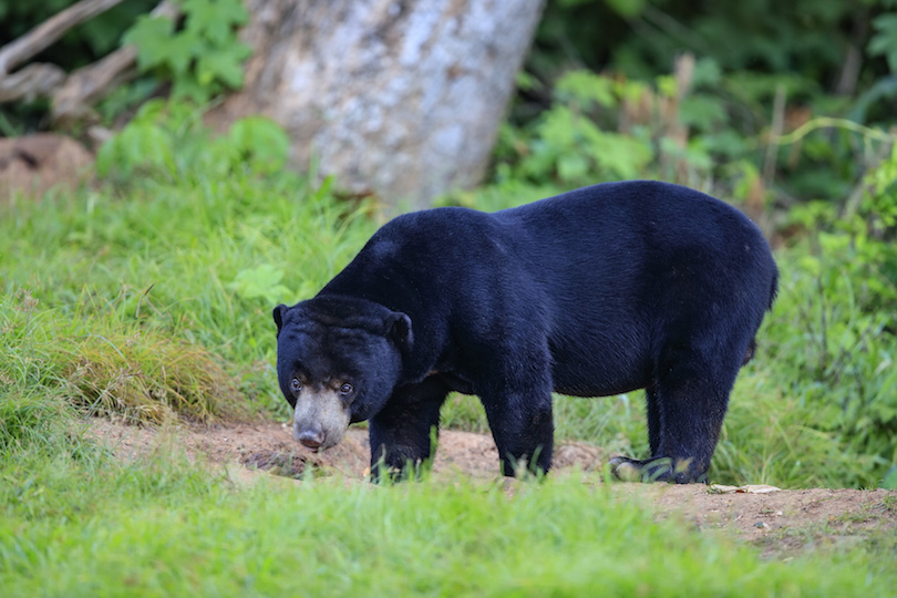 Malayan sun bear in nature of Thailand