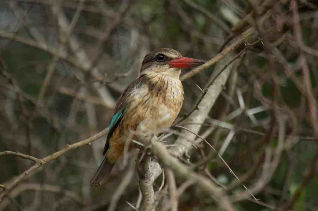 Brown hooded kingfisher - photo#32
