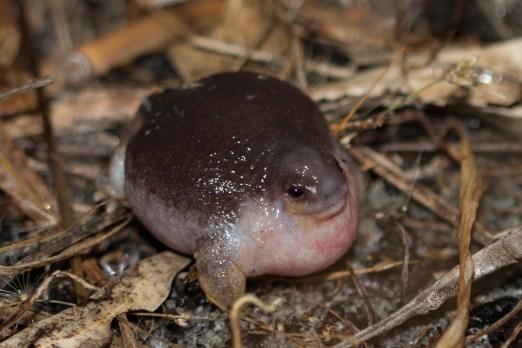 Turtle frog @ Bold Park