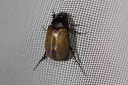 June Beetles (Subfamily Melolonthinae)