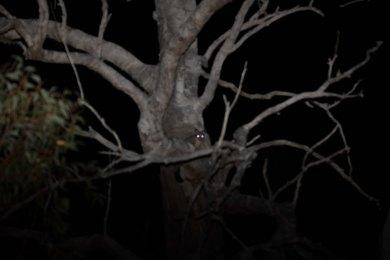 Common Brushtail Possum @ Hollywood Reserve