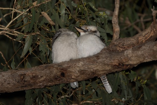 Sleeping Kookaburras
