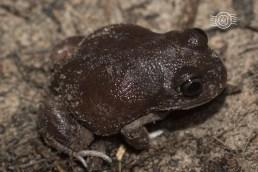 Whooping frog @ Ashendon, Brookton Hwy