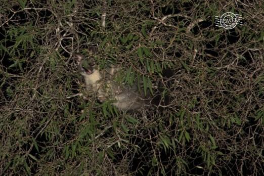 Common brushtail possum @ Wonnerup