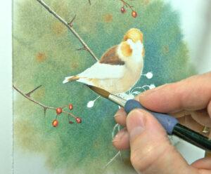 Hawfinch 3-ws