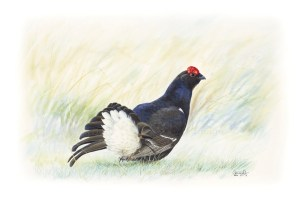 Blackcock, Black grouse male by Colin Woolf