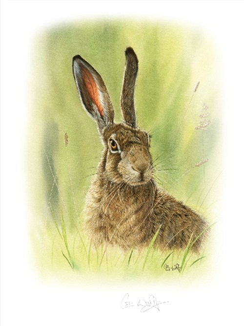 Brown Hare watercolour by Colin Woolf