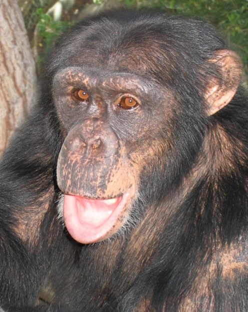 Mystery the Chimp