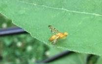 an odd little fly
