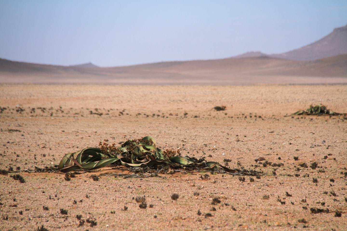 Welwitschia-living-fossil