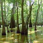 Cypress Swamp near the Champion Cypress