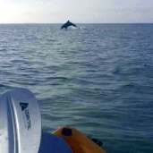 A Dolphin jumps in front of a kayaker in Gulf Shores