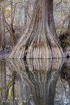 "A Cypress Trunk reflects in the water by ""Barbara Haines"""