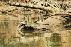 "A turtle suns itself on a log by ""Barbara Haines"""