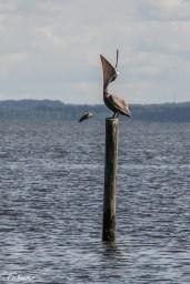 Pelican basking in sun