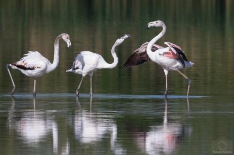 20160416.flamingos_25247094447_o.senza titolo