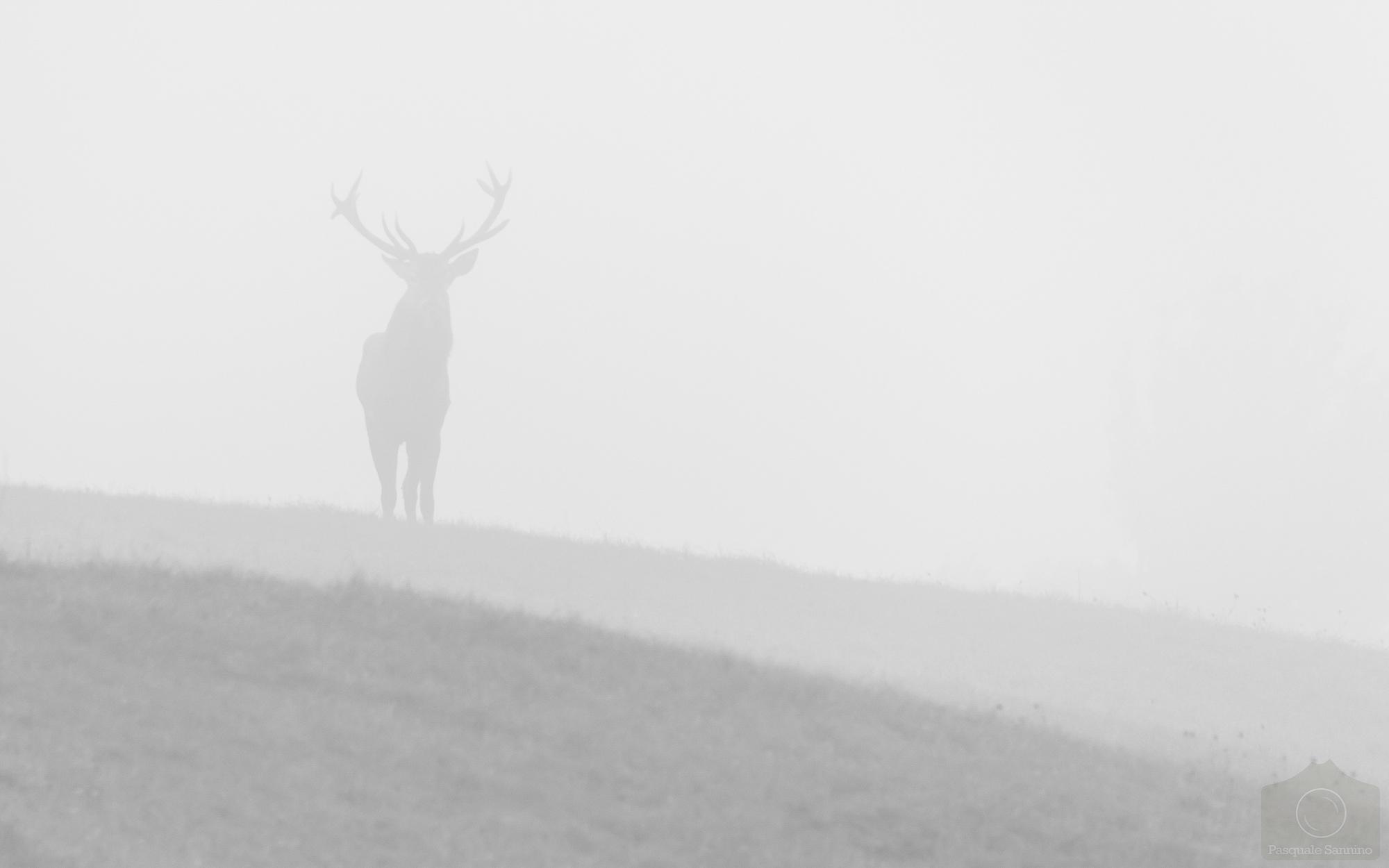 Cervo nella nebbia Pasquale Sannino