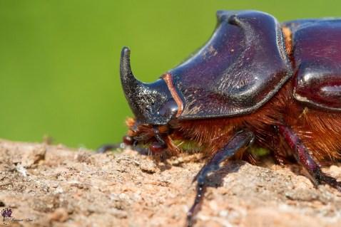 scarabeo-rinoceronte-ritratto_43425315102_o