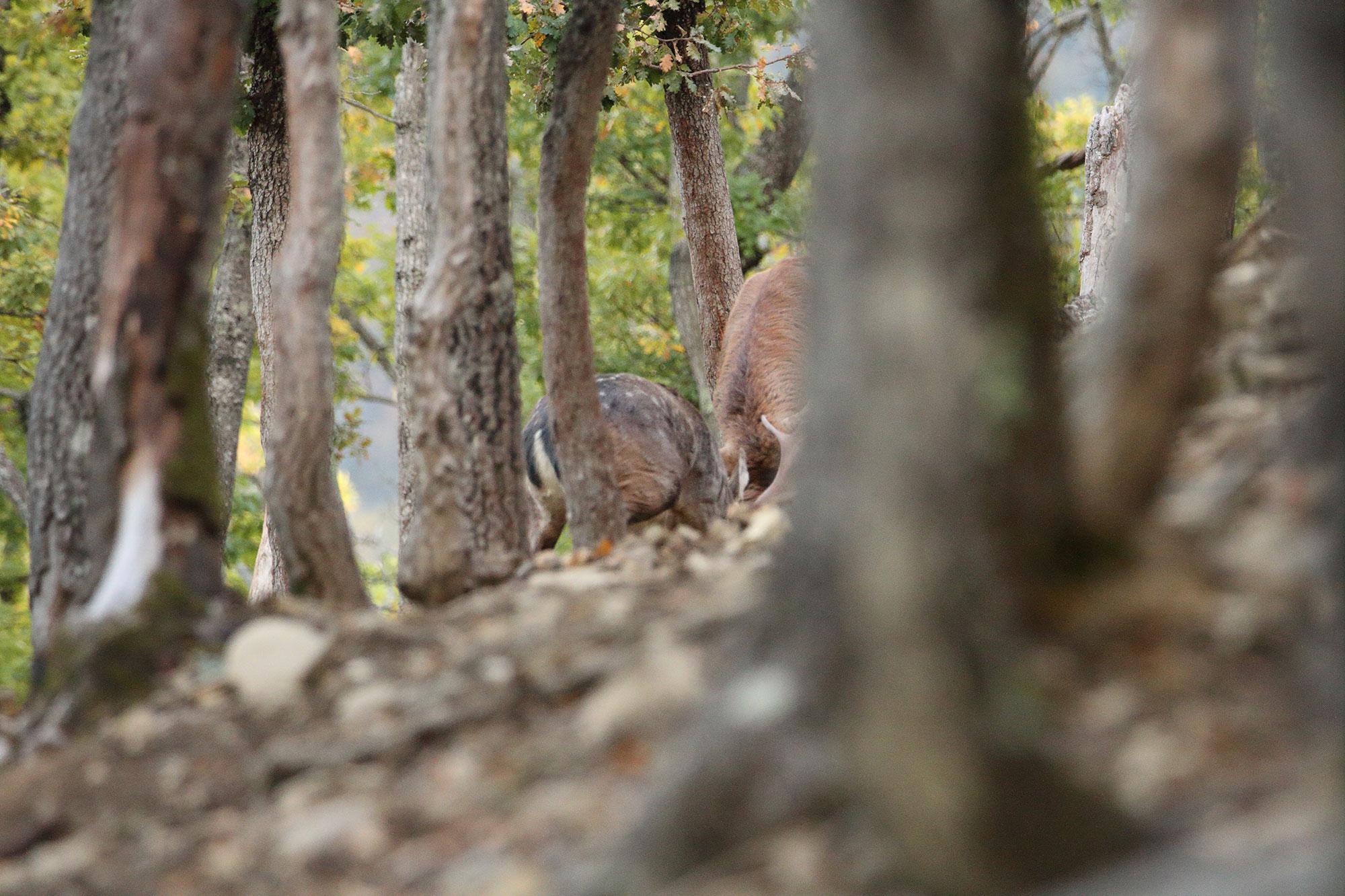 Cervo contro Daino
