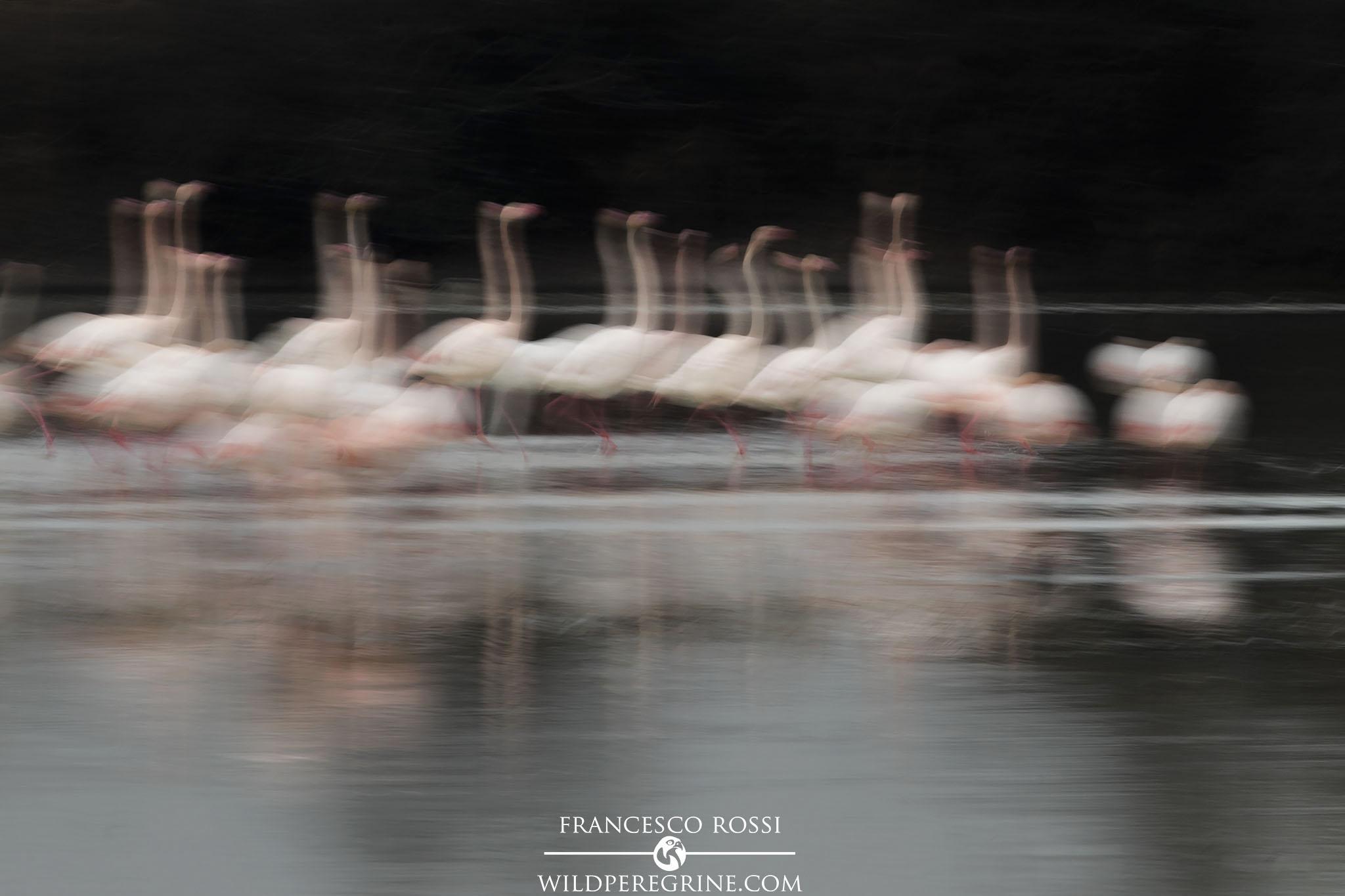 Fenicotteri Firenze Lago di Peretola