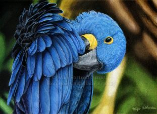 """""""Hyacinth Macaw"""" - A4 drawing in coloured pencils with powder blender on UArt 800 sanded paper. Reference photo by Jan Willemsen from wildlifereferencephotos.com Art by Wild Portrait Artist. Available for sale."""