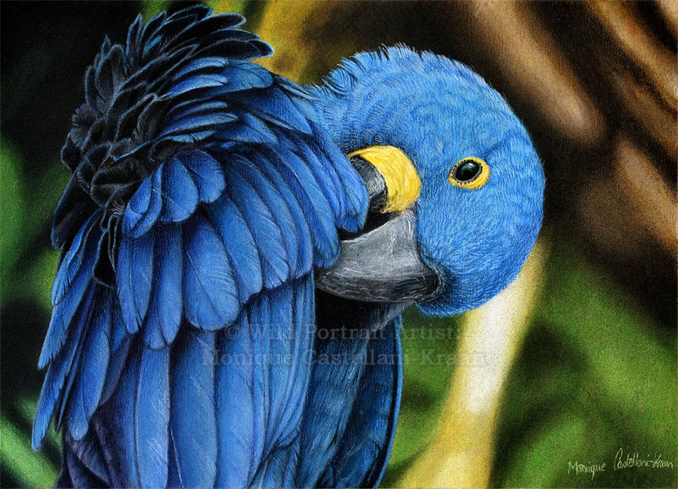 """Hyacinth Macaw"" - A4 drawing in coloured pencils with powder blender on UArt 800 sanded paper. Reference photo by Jan Willemsen from wildlifereferencephotos.com"