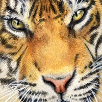 """""""Piercing Gaze"""" 2.5 x 3.5 inch miniature ACEO/ATC drawing in coloured pencil, on Strathmore Bristol Vellum. Art by Wild Portrait Artist. SOLD."""