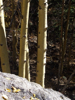 Aspen Trunks in Sun/Shade