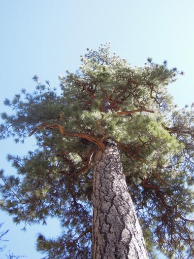 resilient ponderosa tree