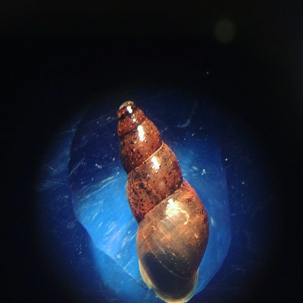 Adult Mud Snail in Microscope Week 1