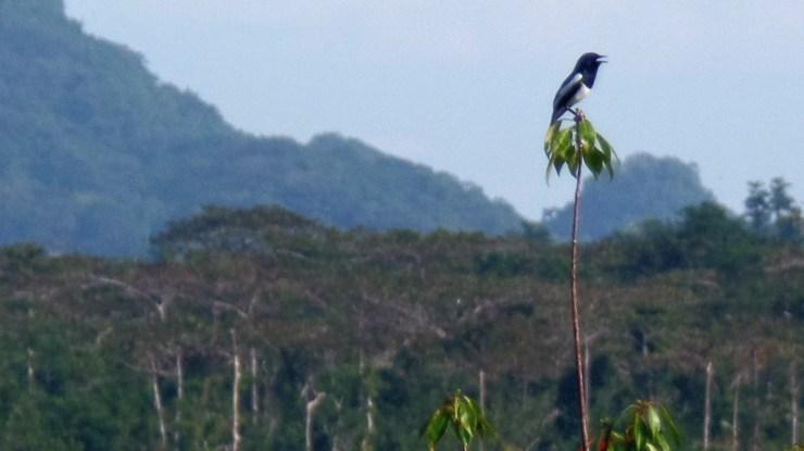 Philippine magpie-robin (Copsychus mindanensis)