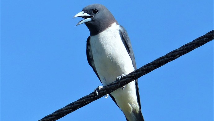White-breated woodswallow (Artamus leucorynchus)