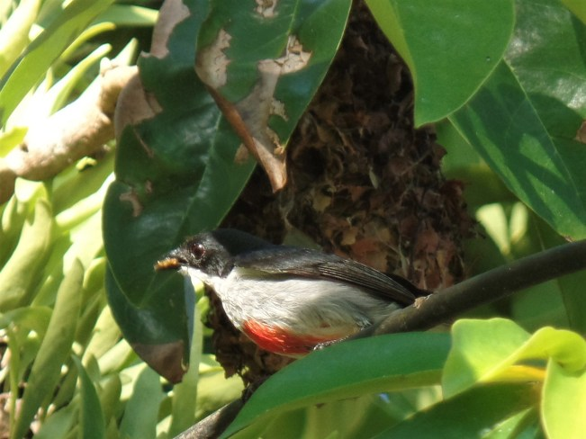 Red-keeled flowerpecker birds of siargao