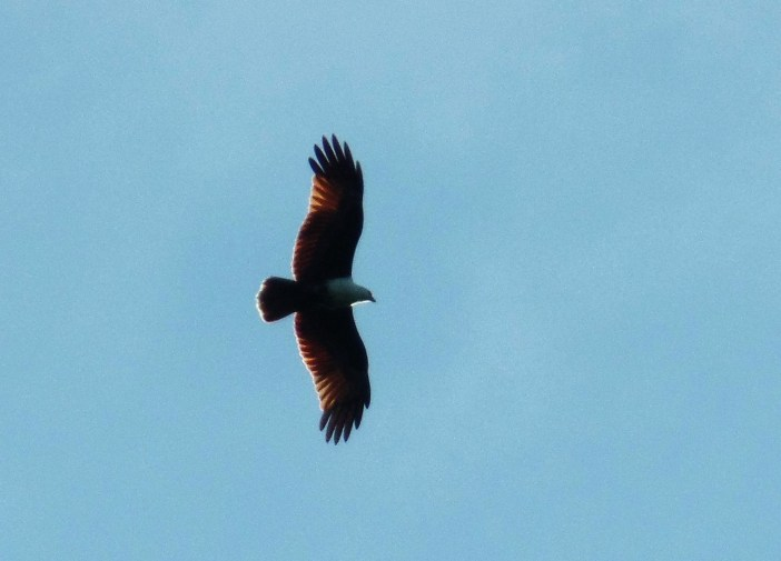 The brahminy kite (Haliastur indus) - Siargao Island ( ) birds of siargao