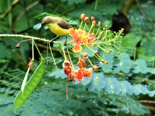 olive-backed-sunbird birds of siargao