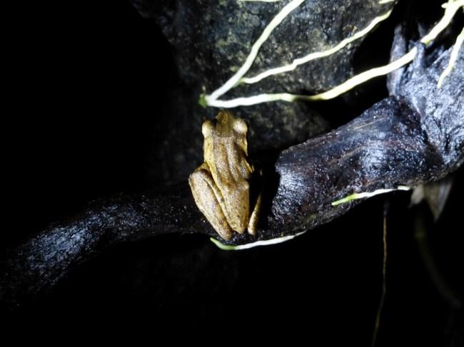 Golden Tree Frog (Polypedates leucomystax) on Siargao Island.