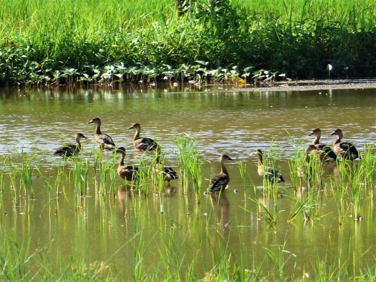 Wandering whistling ducks (Dendrocygna arcuata)