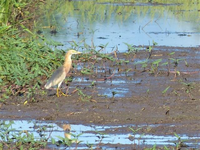 javan pond-heron (ardeola speciosa)