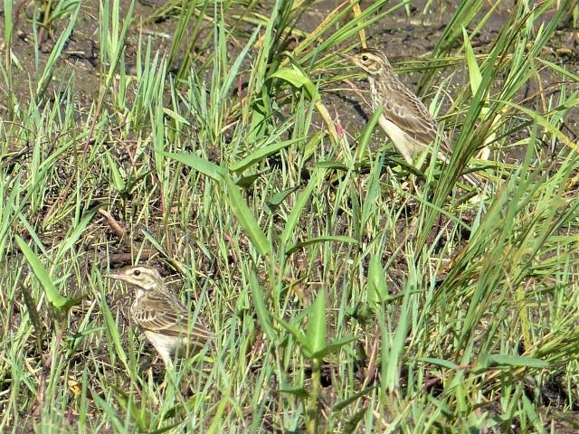 Paddyfield Pipit (Anthus rufulus)