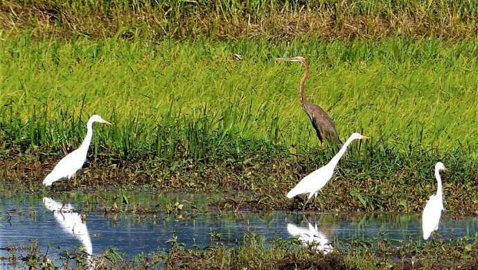A purple heron with some egrets