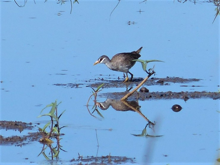 The white-browed crake (Amaurornis cinerea)