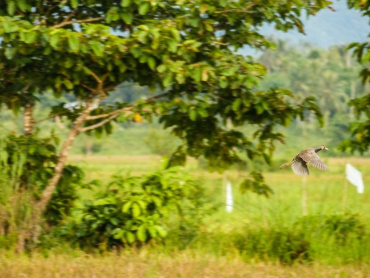 The Watercock (Gallicrex cinerea). Siargao island, Philippines.